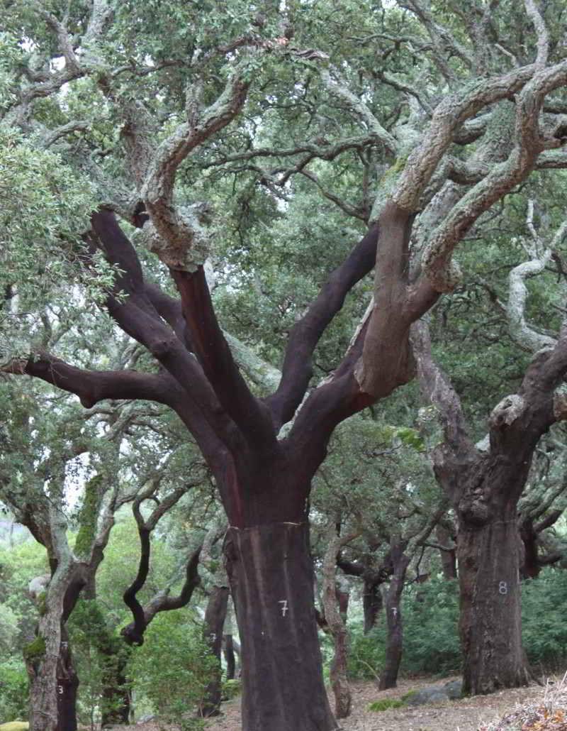 Kurkboom langs de Via Algarviana