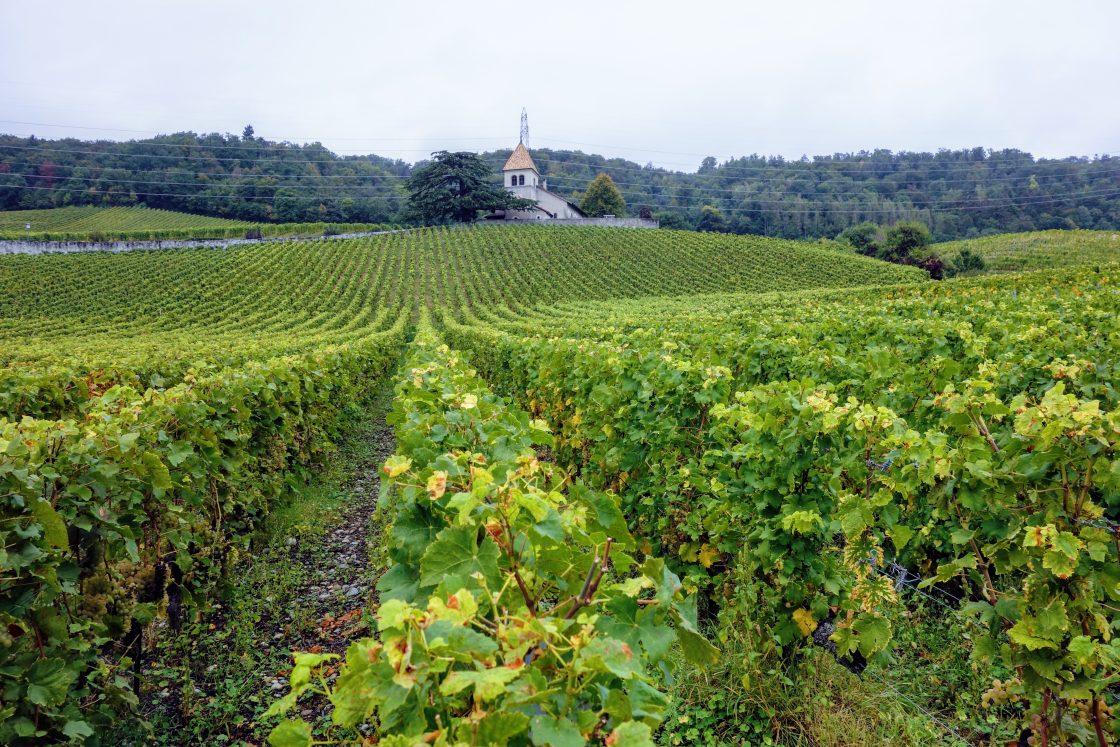 wijngaard met kerk op de achtergrond